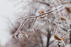 Πάγος-καλυμμένο δέντρο κλάδων με τα πολύχρωμα φύλλα μετά από τη βροχή παγώματος Στοκ φωτογραφία με δικαίωμα ελεύθερης χρήσης