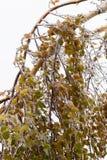 Πάγος-καλυμμένο δέντρο κλάδων με τα πολύχρωμα φύλλα μετά από τη βροχή παγώματος Στοκ Εικόνες