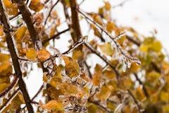 Πάγος-καλυμμένο δέντρο κλάδων με τα πολύχρωμα φύλλα μετά από τη βροχή παγώματος Στοκ Φωτογραφίες