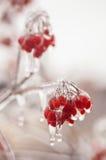 Πάγος-καλυμμένο viburnum κλάδων Στοκ φωτογραφία με δικαίωμα ελεύθερης χρήσης