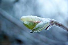 πάγος κλάδων Στοκ Εικόνα