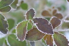 πάγος λουλουδιών Στοκ Εικόνες