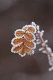 πάγος λουλουδιών Στοκ Εικόνα