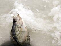 Πάγος που αλιεύει για το AA Crappie στοκ φωτογραφία με δικαίωμα ελεύθερης χρήσης