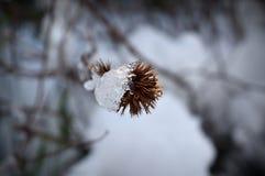 Πάγος στο κινεζικό κεφάλι σπόρου plumbago Στοκ εικόνες με δικαίωμα ελεύθερης χρήσης