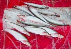 πάγος ψαριών ακατέργαστος Στοκ Εικόνα