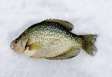 Πάγος Crappie που αλιεύει κοντά επάνω στοκ φωτογραφίες
