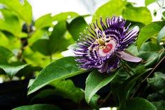 πάθος καρπού λουλουδιώ Στοκ Φωτογραφίες