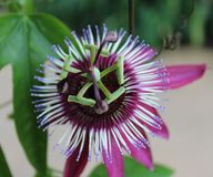 πάθος λουλουδιών ενιαί&o Στοκ εικόνες με δικαίωμα ελεύθερης χρήσης
