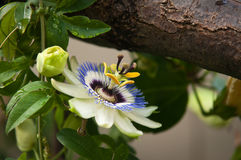 πάθος λουλουδιών μεγάλων κλώνων Στοκ εικόνα με δικαίωμα ελεύθερης χρήσης
