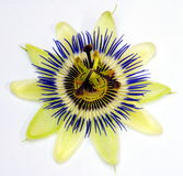 πάθος λουλουδιών Στοκ φωτογραφία με δικαίωμα ελεύθερης χρήσης