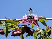 Πάθος ρόδινο Passiflora λουλουδιών †« Στοκ Φωτογραφία