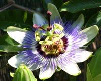 Πάθος της Νίκαιας αποκαλούμενος ο λουλούδι Ιησούς το «άνθισε την άνοιξη με Στοκ φωτογραφία με δικαίωμα ελεύθερης χρήσης
