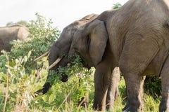 πάλη ελεφάντων Στοκ Εικόνες