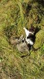 Πάλη Gras γατακιών γατών γατών πράσινο Στοκ Φωτογραφίες
