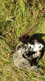 Πάλη Gras γατακιών γατών γατών πράσινο Στοκ Εικόνες
