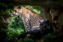 Πάνθηρας ή λεοπάρδαλη στο ζωολογικό κήπο Στοκ Φωτογραφίες