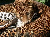 Πάνθηρας της Σρι Λάνκα Στοκ εικόνες με δικαίωμα ελεύθερης χρήσης