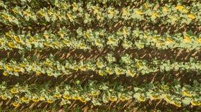 Πάνω-κάτω το τοπίο των κίτρινων ηλίανθων Θαυμάσιο αγροτικό τοπίο του τομέα ηλίανθων στην ηλιόλουστη ημέρα Εναέρια άποψη κηφήνων στοκ φωτογραφία με δικαίωμα ελεύθερης χρήσης