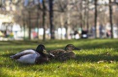 Πάπια δύο στο πράσινο lown στο πάρκο στοκ φωτογραφία