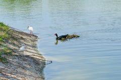 Πάπια και θρεσκιόρνιθα της Φλώριδας Muscovy Στοκ φωτογραφία με δικαίωμα ελεύθερης χρήσης