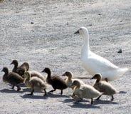 Πάπια και νεοσσοί μητέρων Στοκ Φωτογραφία