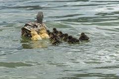 Πάπια και νεοσσός στη λίμνη Στοκ Φωτογραφίες