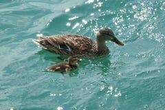 Πάπια και νεοσσός στη λίμνη Στοκ Εικόνες