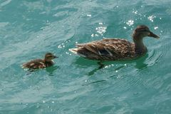 Πάπια και νεοσσός στη λίμνη Στοκ φωτογραφία με δικαίωμα ελεύθερης χρήσης