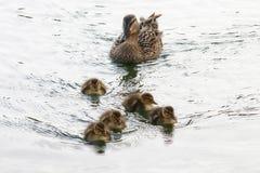 Πάπια και οικογένεια νεοσσών Στοκ εικόνα με δικαίωμα ελεύθερης χρήσης