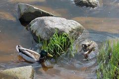 Πάπια και πάπια που κολυμπούν στο νερό κοντά στην πράσινη χλόη και το γκρίζο s Στοκ εικόνα με δικαίωμα ελεύθερης χρήσης