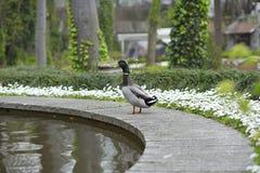 Πάπια κοντά στο νερό στο πάρκο Στοκ φωτογραφία με δικαίωμα ελεύθερης χρήσης