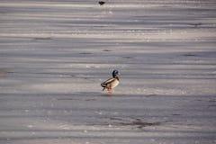 Πάπια, κρύο, που καλύπτεται στη λίμνη παγετού στοκ εικόνες
