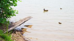 Πάπια μαμών και οι νεοσσοί της στη λίμνη απόθεμα βίντεο