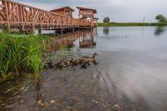 Πάπια με τους νεοσσούς στη λίμνη Στοκ Εικόνα