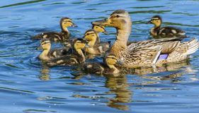 Πάπια με τους νεοσσούς στο μπλε νερό στοκ εικόνες με δικαίωμα ελεύθερης χρήσης