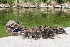 Πάπια μητέρων και χαριτωμένοι νεοσσοί Στοκ Φωτογραφία