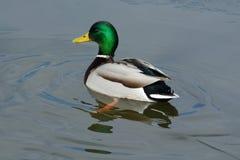 Πάπια παπιών πρασινολαιμών στο παγωμένο νερό Στοκ φωτογραφίες με δικαίωμα ελεύθερης χρήσης