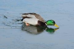 Πάπια παπιών πρασινολαιμών στο παγωμένο νερό Στοκ εικόνες με δικαίωμα ελεύθερης χρήσης