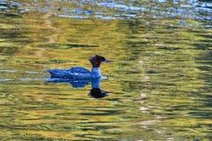 Πάπια ποταμών Albion στοκ εικόνες με δικαίωμα ελεύθερης χρήσης