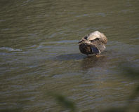 Πάπια που καθαρίζεται στο νερό στοκ φωτογραφίες