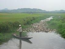 Πάπια που καλλιεργεί στο Βιετνάμ στοκ εικόνες