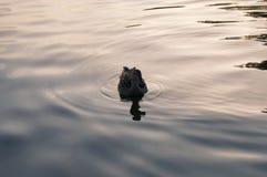 Πάπια που κολυμπά σε μια λίμνη Στοκ εικόνα με δικαίωμα ελεύθερης χρήσης