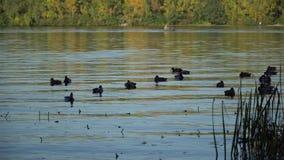 Πάπια που κολυμπά στον ποταμό απόθεμα βίντεο