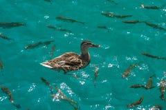 Πάπια που κολυμπά επάνω από τα ψάρια Στοκ εικόνες με δικαίωμα ελεύθερης χρήσης