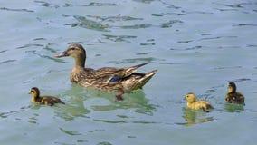 Πάπια που κολυμπά με τους νεοσσούς Στοκ εικόνα με δικαίωμα ελεύθερης χρήσης