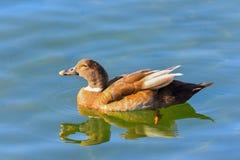 Πάπια που κολυμπά στη λίμνη Στοκ φωτογραφίες με δικαίωμα ελεύθερης χρήσης