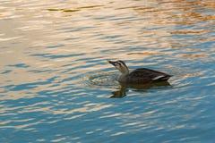 πάπια που κολυμπά στον ποταμό Στοκ εικόνες με δικαίωμα ελεύθερης χρήσης