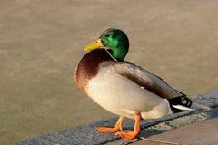 πάπια που ξεφυσιέται επάν&omega Στοκ Φωτογραφίες