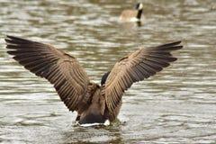 Πάπια που χτυπά it& x27 φτερά του s που παίρνουν κατά την πτήση Στοκ Εικόνα